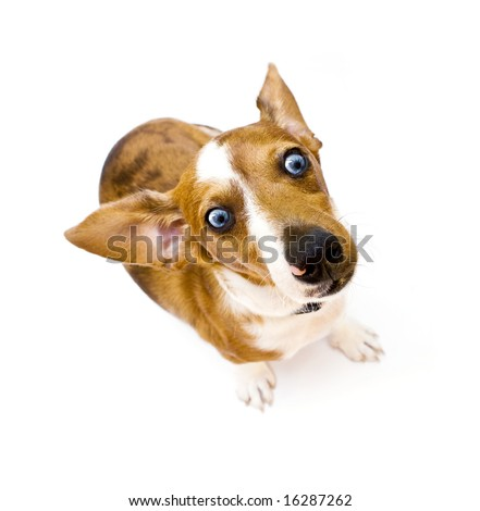 Sweet Dachshund ( teckel ) dog sitting on a white background - stock photo
