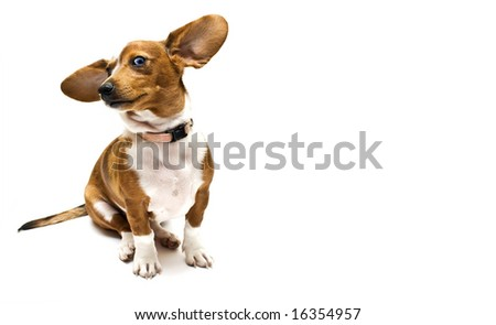 Sweet Dachshund ( teckel ) dog sitting on a white background and look like he is listening to something( SAY WHAT ??? ) - stock photo