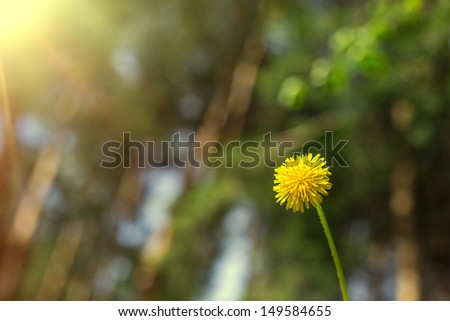 Sweet dandelion on green blurry background - stock photo
