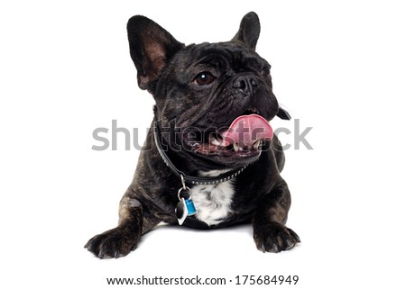 Sweet dog is resting on a clean white background. The name of the breed is a French Bulldog. Some people also call it a bouledogue bran���§ais.