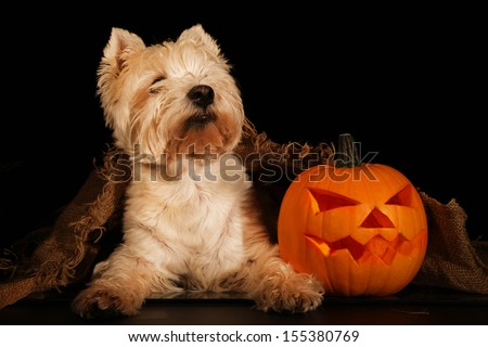 Sweet dog, west highland terrier with Halloween pumpkin  - stock photo