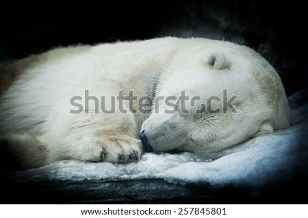 Sweet dreams of a polar bear, isolated on black background.  - stock photo