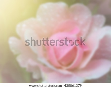 sweet dreamy and de-focused , blooming of pink rose  - stock photo
