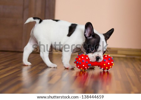 Sweet eight week old French bulldog puppy - stock photo