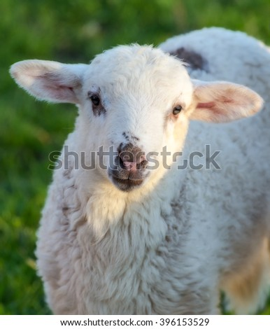 Sweet face of a beautiful yearling sheep