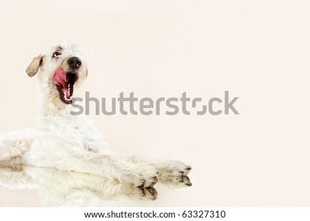 sweet funny licking dog Irish wolfhound in studio - stock photo