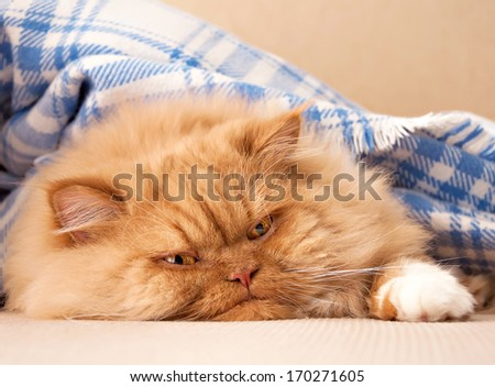 Sweet ginger Persian kitten with blue blanket - stock photo