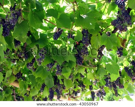 Sweet grapes for wine - stock photo