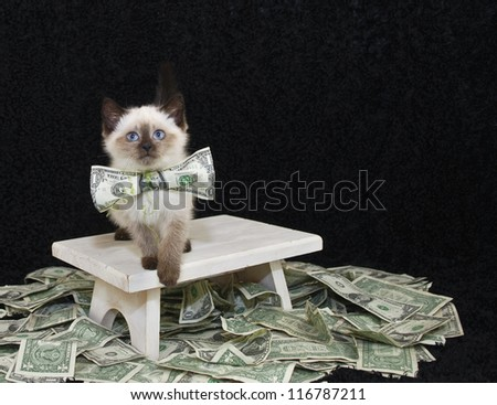 Sweet Kitten wearing a dollar bill bow with money draped around her. - stock photo
