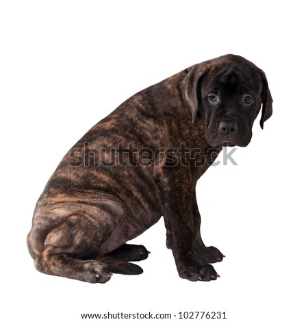 Sweet labrador puppy isolated - stock photo