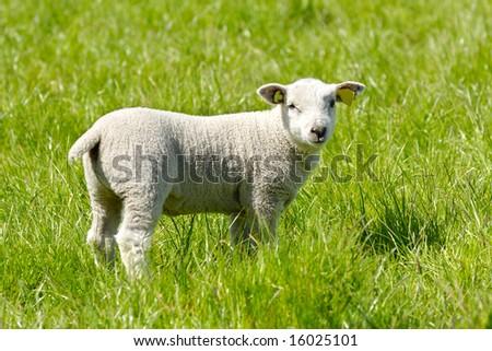 Sweet lamb in profile on a green field. - stock photo