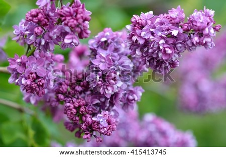 Sweet Lilac on the green background. Sweet Lilac. Lilac flowers. Green branch with spring lilac flowers. Lilac bush - stock photo