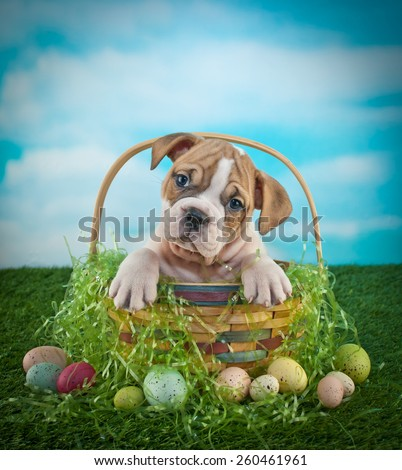 Sweet little Bulldog puppy sitting in an Easter basket on a lawn with Easter eggs around him, with copy space. - stock photo