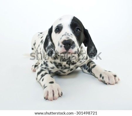 Sweet little Dalmatian puppy laying down looking straight ahead, on a white background.