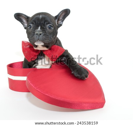 Sweet little french Bulldog sitting in a heart shaped box on a white background. - stock photo