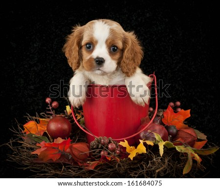 Sweet little King Cavalier puppy sitting in a bucket with fall decor around her. - stock photo