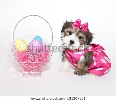 Sweet little Morkie puppy wearing her Easter dress sitting beside an Ester basket. - stock photo