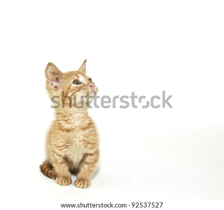Sweet little Munchkin kitten looking up in a white background. - stock photo