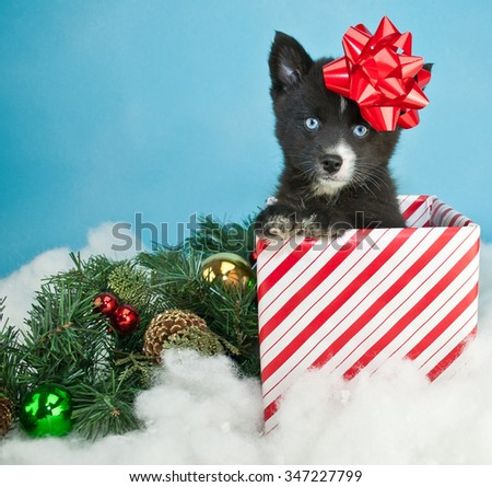 Sweet little Pomsky puppy peeking out of a Christmas gift with a red bow on his head, sitting in the snow with Christmas decor around him. On a blue background with copy space. - stock photo
