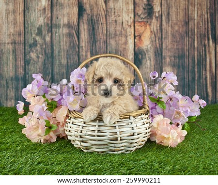 Sweet little Poodle sitting in a basket with spring flowers around her. - stock photo