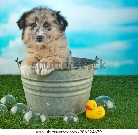 Sweet little puppy sitting in a bath tub outdoors with bubbles and a rubber ducky around him, along with copy space. - stock photo