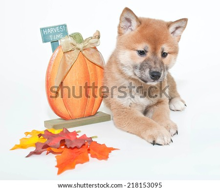 Sweet little Shiba Inu puppy laying with fall decor around him on a with background.