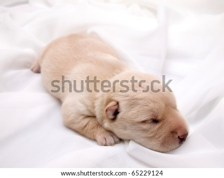 Sweet little wheaten Scottish Terrier puppy - stock photo