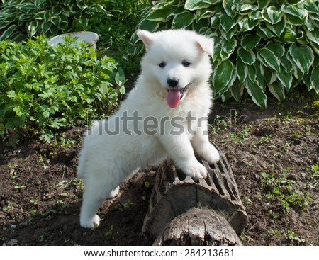 Sweet little white Huskimo puppy laying on a stump outdoors.