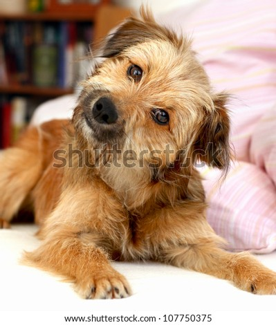 Sweet looking dog lying on the bed looking at the camera - stock photo