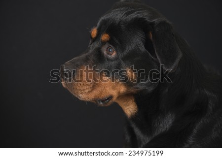 Sweet looking Rottweiler portrait with black background