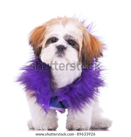 sweet looking shih tzu puppy dressed like a pimp, standing on white background - stock photo