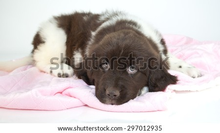 Sweet Newfoundland puppy looking sleepy laying on a pink blanket with a white background.
