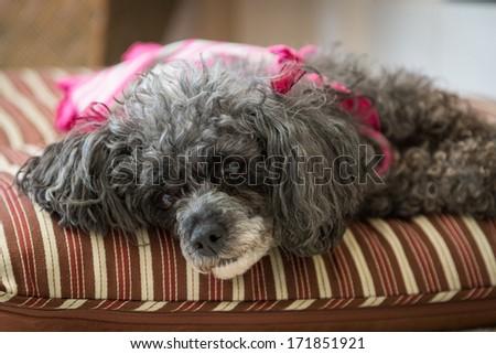 Sweet Older Dog - stock photo