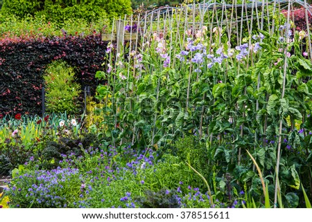 Sweet pea and various flowers blossom in the walled garden  - stock photo