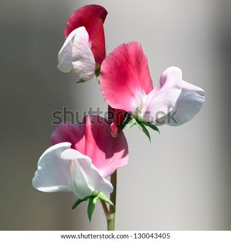 Sweet pea flower bush - stock photo