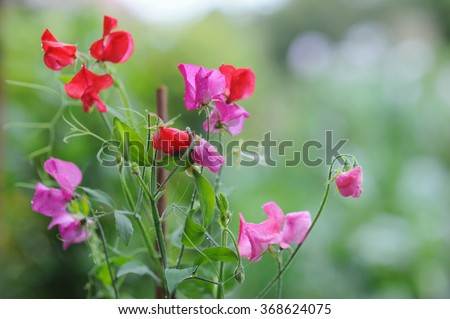Sweet pea flowers on natural background - stock photo