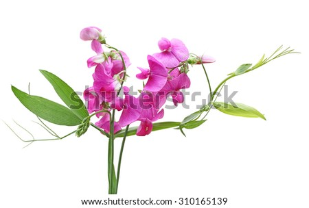 Sweet Pea (Lathyrus Latifolius Pearl Pink) Everlasting Sweet Pea flower isolated on white background - stock photo