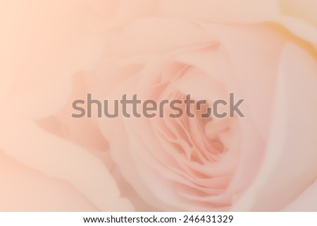 Sweet peach rose, Abraham Darby Rose, English Rose for soft background. - stock photo