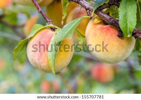Sweet peaches on a tree - stock photo