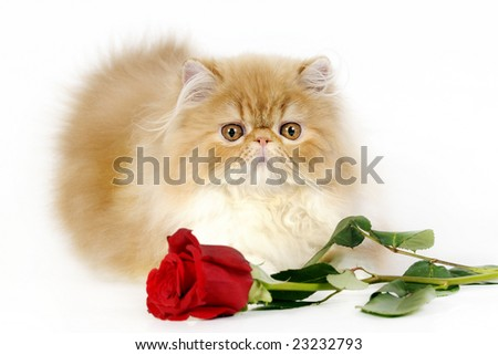 Sweet Persian kitten with a red rose for present. - stock photo