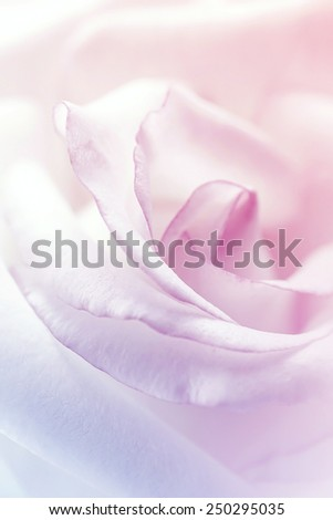 sweet petal rose, in soft color and blur style for background