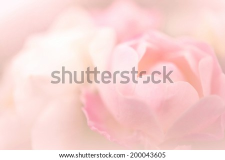 sweet pink color rose petals  - stock photo
