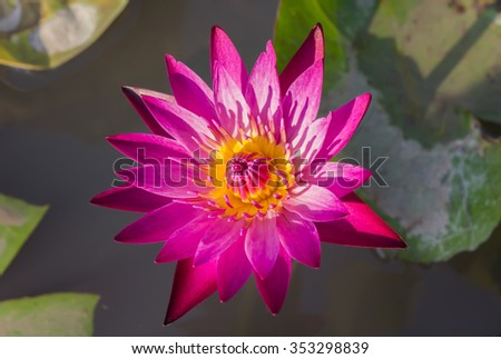 Sweet pink lotus on water in evening sunlight