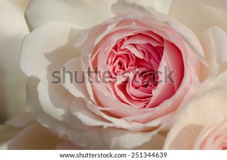 Sweet pink rose, Wedgwood rose, English rose, close up. - stock photo