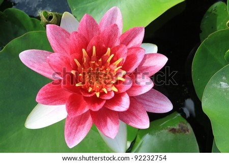 Sweet pink waterlily is blooming with soft sunlight - stock photo