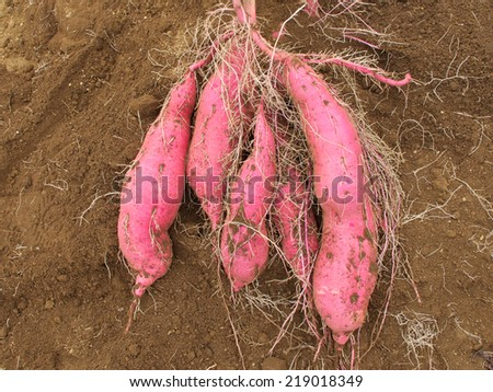 Sweet Potato - stock photo