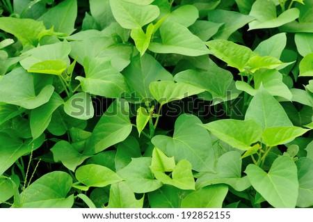 sweet potato crop grow in garden  - stock photo