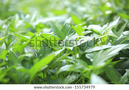 sweet potato leaves grow at garden - stock photo