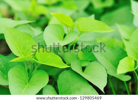 sweet potato plants - stock photo