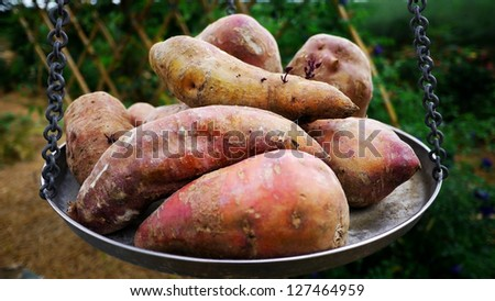Sweet Potatoes on Weighing scale or Balance Scale. - stock photo